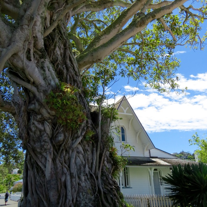 Moreton Bay Fig tree planted in the 1870's