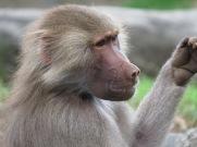 Ignoring the photographer, Auckland Zoo