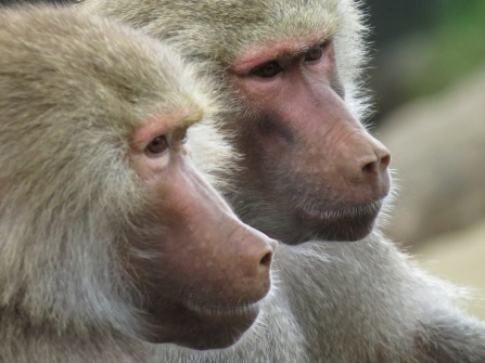 Brotherly moment, Auckland Zoo