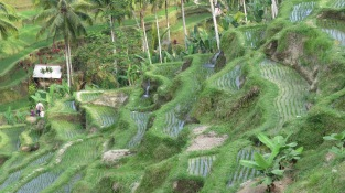 Ubud; rice terrace