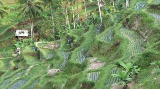 Ubud; rice terrace